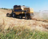 10 Bin Yıllık Buğday  Hasadı